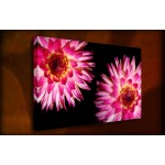Dahlia's - 38mm Deep Framed Canvas Print